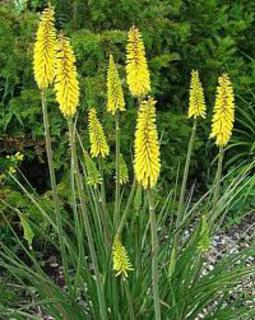 Kniphofia/Hot Poker Plant
