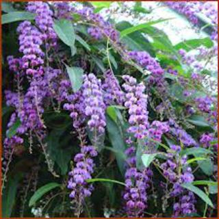 Hardenbergia Happy Wonderer