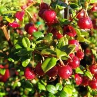 Chilean Guava AKA NZ Cranberry