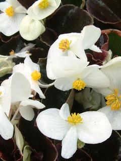 Begonia Vision White