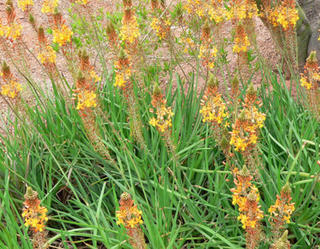 Bulbine fructescens