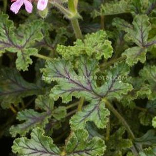 Pelargonium 'Village Hill Oak'