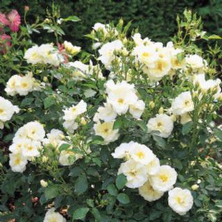 Groundcover rose 'White'