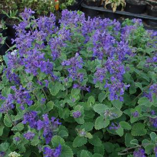 Nepeta Mussinii/Catmint