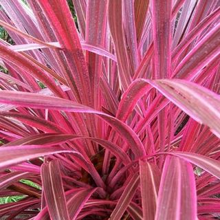 Cordyline Pink Passion