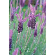 Lavender 'Avonview' 1.3 L