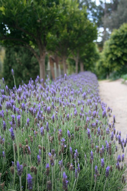 Lavender dentata 'Monet'