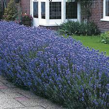 Lavender angustifolia 'Munstead'