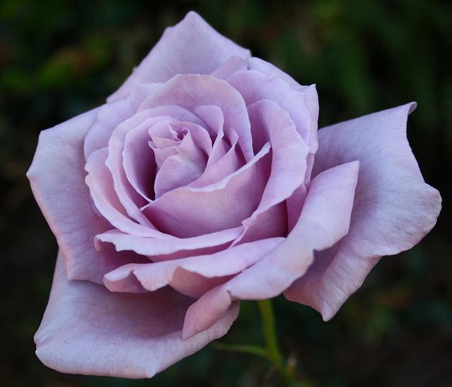 Rose Blue Moon German Roses Shop Online