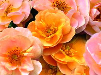 Rosa Amber Flower Carpet Roses Shop Online