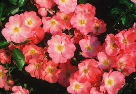 Groundcover rose 'Coral'