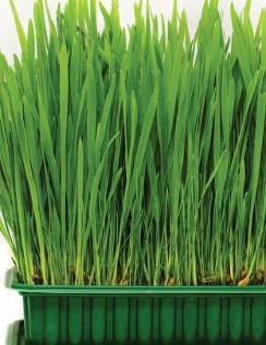 Catgrass Herbs And Veges Shop Online