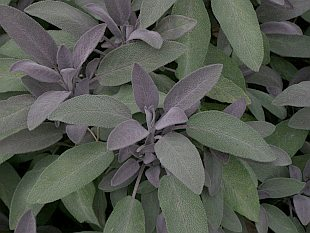 Salvia officinalis 'Purpurea'