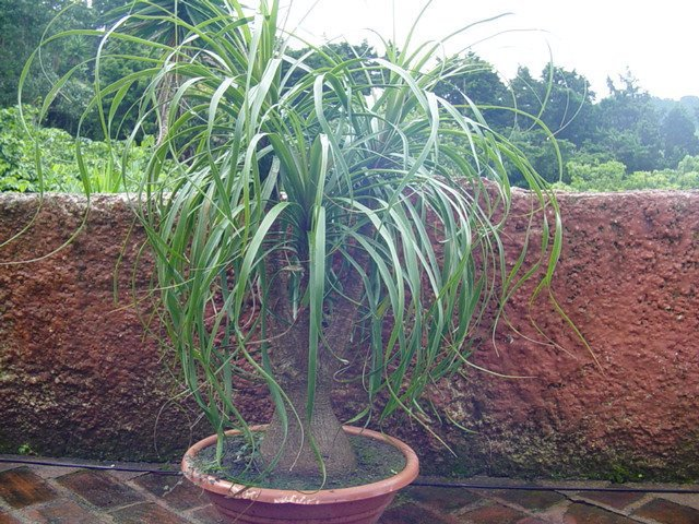 Beaucarnea Guatemalensis Red Ponytail Palm Pb5 Trees