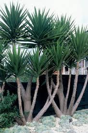 Gut gemocht Yucca elephantipes - Trees - Shop Online TC39