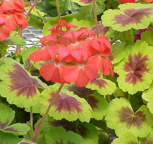 Pelargonium x hortorum 'Indian Dunes'