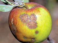 Apple Scab or Black Spot
