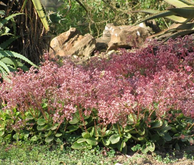 Crassula Multicava Succulent And Cacti Shop Online