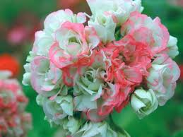Pelargonium zonale 'Appleblossom Rosebud' - Bedding Plants ...